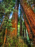 Golden Gate National Recreation Area Photos - California - Muir Woods 001 by Lance Vaughn