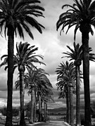 Palms Posters - California Palms - Black and White Poster by Carol Groenen