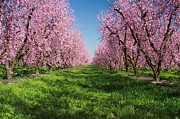 Californian Art - California Peach Tree Orchard  by Anonymous