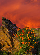 Marc Crumpler - California Poppies At...