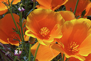 Fine Art Acrylic Prints - California Poppies by Ben and Raisa Gertsberg