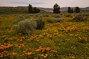 Nina Prommer - California poppies in...