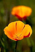Robert Woodward - California Poppy 1