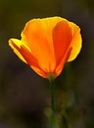 California Poppy 2 Print by Robert Woodward