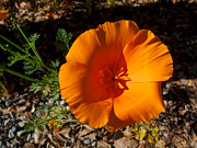 California Poppy  In Park Sierra-ca Print by Ruth Hager