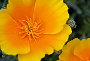 Yellow Glowing Stamen Framed Prints - California Poppy in Spring Framed Print by Matthew Bamberg