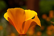 Cucumber Beetle Framed Prints - California Poppy Framed Print by Jeneva Adams