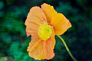 Orange Poppy Prints - California Poppy Print by Kay Pickens