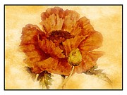 Marilyn Giannuzzi - California Poppy
