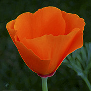 Vivid Digital Art - California Poppy Spectacular by Ben and Raisa Gertsberg