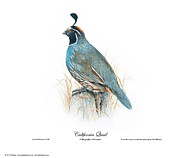 California Quail Paintings - California Quail by John Denney