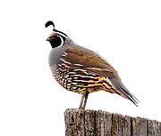 Game Bird Prints - California Quail Print by Robert Bales