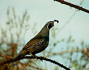 Robert Walker - California Quail