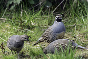 Tim Moore - California Quail