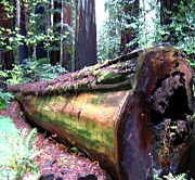 Moss Digital Art Prints - California Redwoods 2 Print by Will Borden