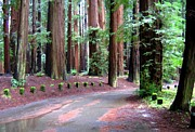 Picturesque Digital Art Posters - California Redwoods 3 Poster by Will Borden