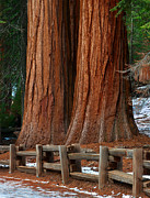 Kings Canyon National Park Posters - California Sequoia Redwoods Poster by Jeffrey Campbell
