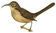 Brown Drawings - California thrasher by Anonymous