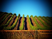 California Vineyard Prints - California Vineyard Print by Joyce  Kimble Smith