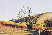 California Vineyard Series Oaks In The Vineyard Print by Artist and Photographer Laura Wrede