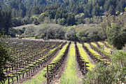 Vineyard In Napa Metal Prints - California Vineyards In Late Winter Just Before The Bloom 5D22051 Metal Print by Wingsdomain Art and Photography