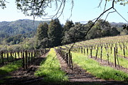 Vineyard In Napa Photo Posters - California Vineyards In Late Winter Just Before The Bloom 5D22053 Poster by Wingsdomain Art and Photography