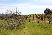 Vineyard In Napa Metal Prints - California Vineyards In Late Winter Just Before The Bloom 5D22121 Metal Print by Wingsdomain Art and Photography