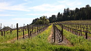 Vineyard In Napa Metal Prints - California Vineyards In Late Winter Just Before The Bloom 5D22167 Metal Print by Wingsdomain Art and Photography