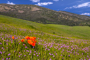 Costa Framed Prints - California Wildflowers Framed Print by Marc Crumpler