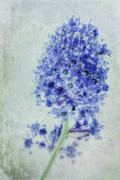 Lilac Digital Art Prints - Californian blue Print by John Edwards