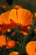 Tracy  Hall - Californian Poppy