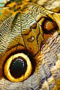 Caligo Atreus Print by Floyd Menezes