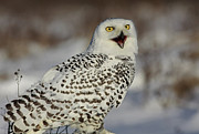 Call Of The North - Snowy Owl Print by Inspired Nature Photography By Shelley Myke