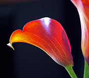 Red Flowers Photos - Calla Colors and Curves by Rona Black