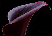 Plants Art - Calla In Burgundy by Don Schwartz