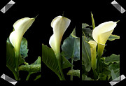 Madalena Lobao-tello Art - Calla lilies collage II  by Madalena Lobao-Tello