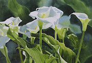 White Blossoms Paintings - Calla Lilies Horizontal Design by Sharon Freeman
