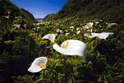 George Oze - Calla Lilies of Big Sur