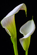 Floral Arrangement Framed Prints - Calla liliy shapes Framed Print by Garry Gay
