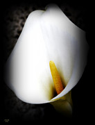 Calla Lilly Mixed Media Posters - Calla Lilly In Full Bloom Poster by Jennifer Muller
