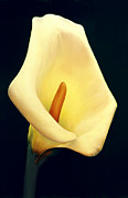 Calla Lilly Painting Framed Prints - Calla Lily Framed Print by Anni Adkins