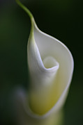 Calla Lilies Plants Framed Prints - Calla Lily Flower Beginnings Framed Print by Jennie Marie Schell