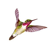Flying Bird Paintings - Calliope Hummingbird by Amy Kirkpatrick