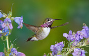 Calliope Hummingbird Print by Anthony Mercieca
