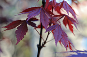 Red Leaves Photos - Calm by Heidi Smith