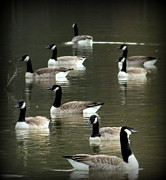 Canadian Geese Art - Calm Waters by Karen Wiles