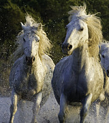 White Horses Photo Prints - Camargue Spray Print by Carol Walker