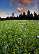 Wildflowers Photo Posters - Camas Sunset Poster by Mike  Dawson