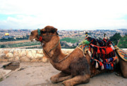 Camel Photos - Camel and Jerusalem from Mount Olive by Thomas R Fletcher