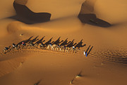 Erg Chebbi Framed Prints - Camel Caravan On Sand Dunes, Erg Chebbi Framed Print by Steve Brockett
